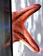 shy starfish...