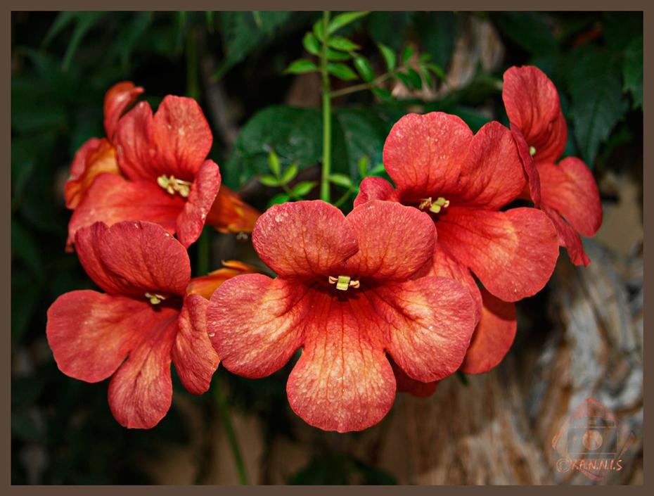 Campsis-grandiflora-(Μπιγκόνια-αναρριχώμενη)