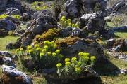 Euphorbia rigida...