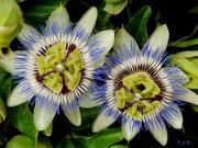 λουλούδι του πάθους