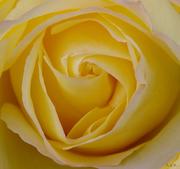 ρόδο μου κίτρινο