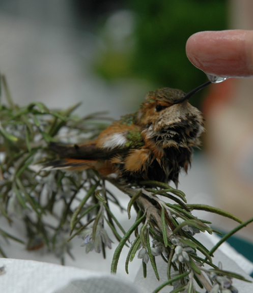 Rufous Hummingbird on the mend