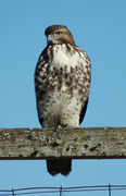 This young Red Tail will allow you quite close...I took this picture from 8' away.