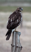 A local Red Tail Hawk that hunts the neighborhood.