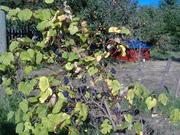 more grapes