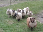 Riverhaven Lambs available for meat
