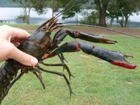 Crawfish TRAP CATCHING TON of Crawfish