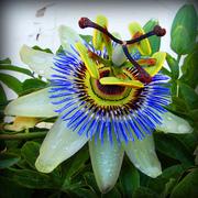 Clock Flower