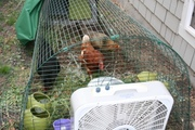 chickens_and_fan