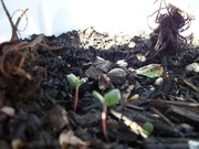 tiny strawberry plants