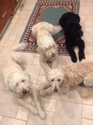 """Pups in the kitchen waiting to be fed """"Down!"""" """"Stay!"""""""