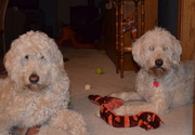 Ernie and Bogey sharing the squeaky snake