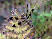 Dragonflies & Damselflies