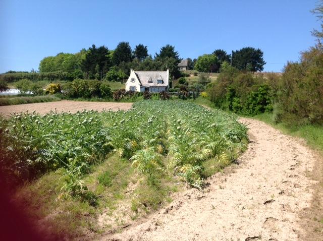 Roscoff  Artichoke farm