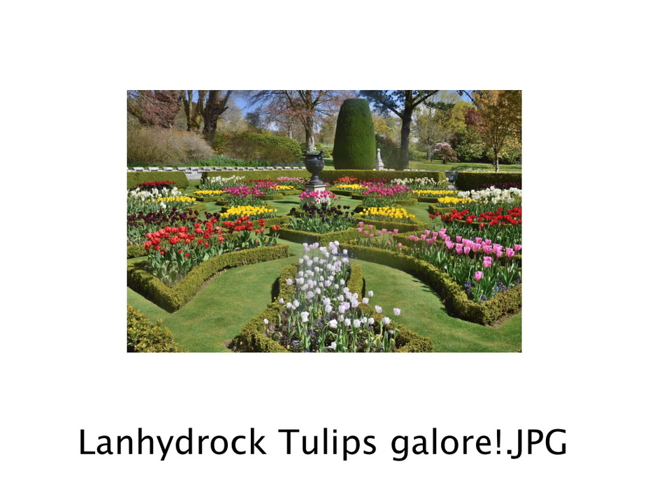 Lanhydrock Cornwall Tulips galore