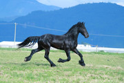 Friesian Fever