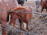 Anti-Slaughter Group - CDN Horse Defence Coalition