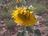 Cultivo de girasol en se…