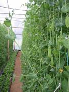 Cultivo sin suelo con tecnica hidroponica Colombia