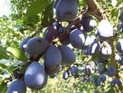 Bellingham Gleaning Network