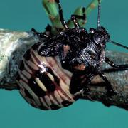 Hemipteran Feeding Netwo…
