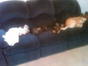 4 dogs on the couch