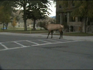 Bull Elk Bugling in Yellowstone