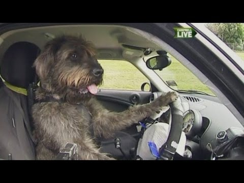 Dogs learn to drive a car in New Zealand