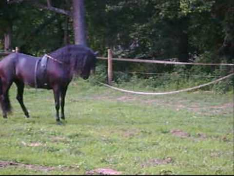 Conquistador XII - Black PRE Revised Stallion warm up