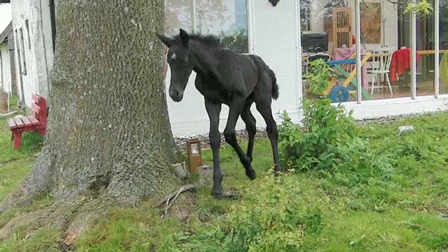 Foal playing in the garden