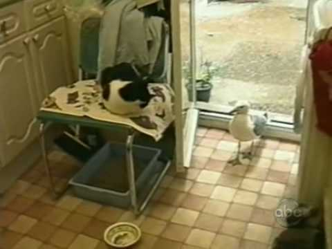 Clever seagull steals cat's dinner!