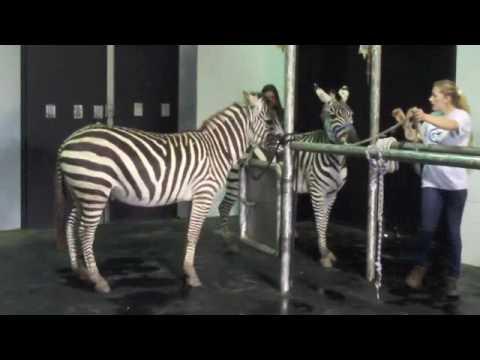 Riding Zebras Visit the Vet!