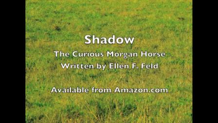 Shadow the Curious Morgan Horse