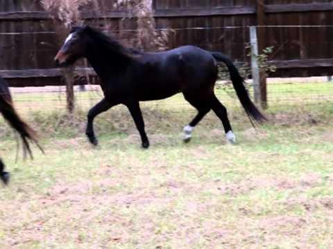 Galiceno Stallions Monty, Rain and Maverick, Vidoe 4