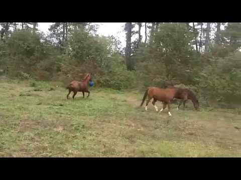 Young Horse Playing with Ball