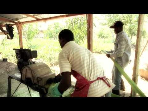 Cultivo de fique, opción para campesinos de la Guajira