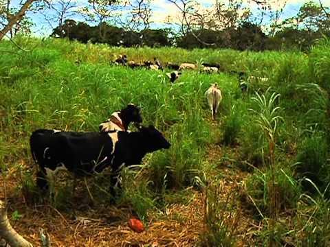 Veracruz Agropecuario - Maralfalfa y otros pastos - TVMAS