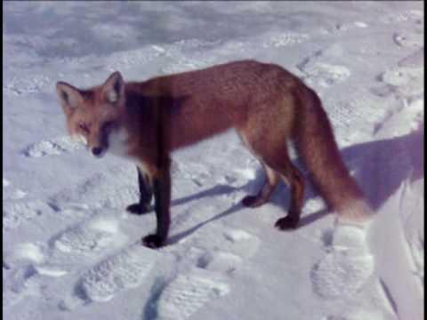 foxy flag check