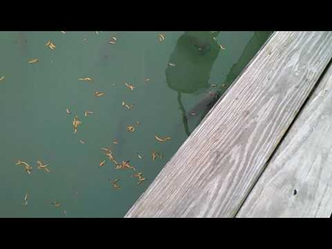 Tabbert Feeder Bluegills 6-19-17