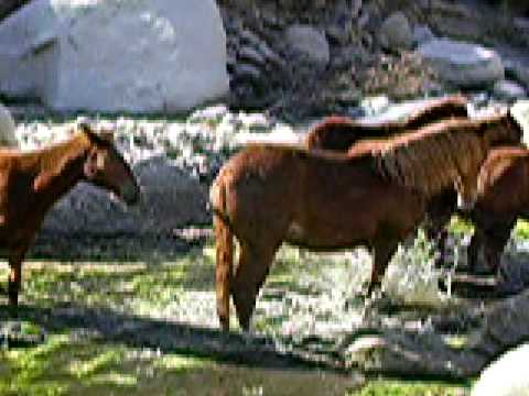 Symphony of Peruvian Horses in the River