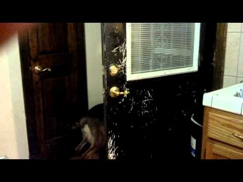 Queen Opens the Door - GERMAN SHEPHERD