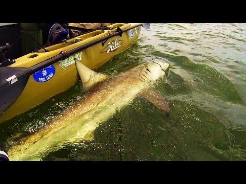 Kayak Fishing: BIG Sharks Offshore Florida, USA