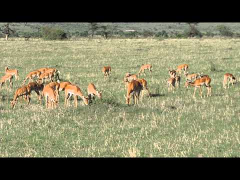 A herd of Impalas in Masai Mara,Kenya Adventure Wildlife Safaris.Courtesy YHA Kenya Travel.