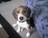 Beagle7
