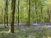 Bluebelll Woods, Angmering