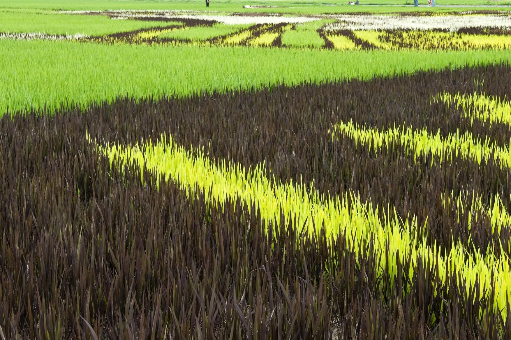 ბრინჯი, პლანტაცია, მხატვრობა, პატრიოტიზმი, ბრინჯის პლანტაციები, ბრინჯის მინდვრები, იაპონია, ლეგენდა, სოფელი, Qwelly, japan, iaponia, brinji, mindori, mxatvroba