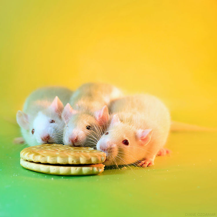 თაგვი, ფოტოგრაფია, ქველი, ბლოგი, ქველიბლოგი, qwelly, blog, photography, qwellygraphy, mouse, mausi, tagvi, fotogenuri tagvi, ფოტოგენური თაგვი