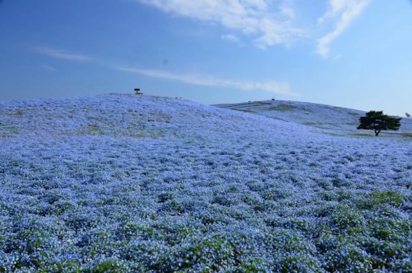 ცისფერი მინდორი, ნამოფილა, ჰიტაჩი, ბაღი, ნაკრძალი, იაპონია, მინდორი, ველი, დედამიწა, ბუნება, qwellyland, qwellygraphy, qwelly, nature, Hitachi Seaside, flowers, blue, Ibaraki, park, sky