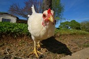 Backyard Birdkeeping Basics