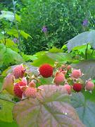 Angoon thimble berry_01